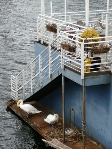 Swans on the Clyde